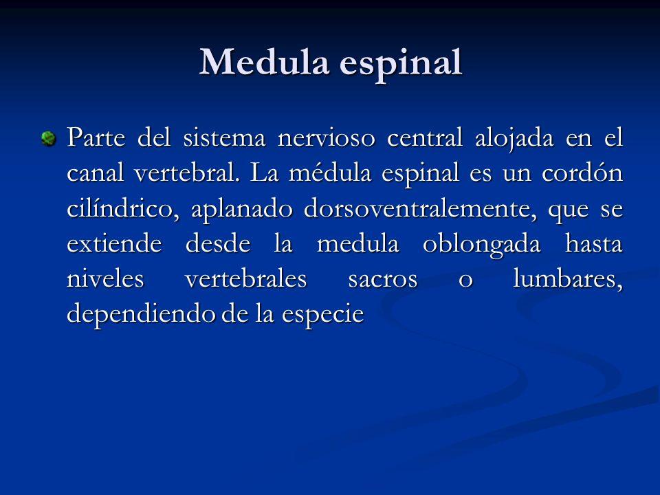Medula espinal Parte del sistema nervioso central alojada en el canal vertebral. La médula espinal es un cordón cilíndrico, aplanado dorsoventralement