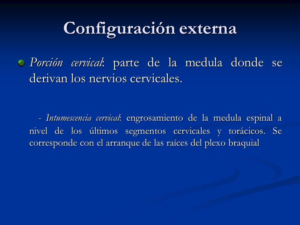 Configuración externa Porción cervical: parte de la medula donde se derivan los nervios cervicales. - Intumescencia cervical: engrosamiento de la medu