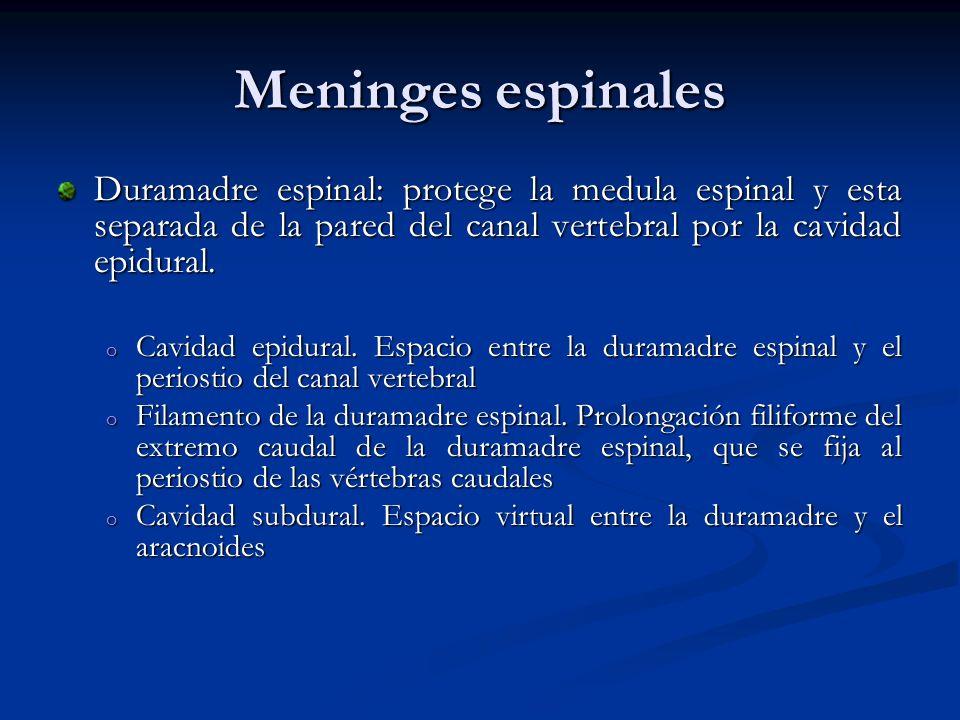 Meninges espinales Duramadre espinal: protege la medula espinal y esta separada de la pared del canal vertebral por la cavidad epidural. o Cavidad epi