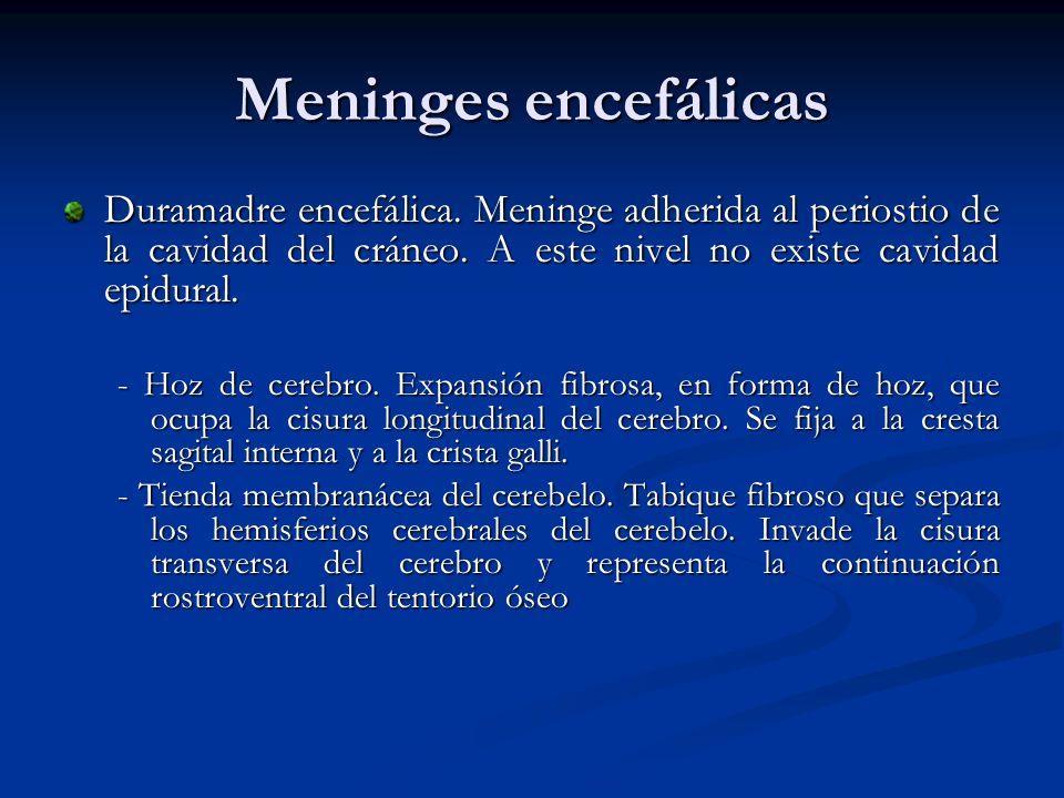 Meninges encefálicas Duramadre encefálica. Meninge adherida al periostio de la cavidad del cráneo. A este nivel no existe cavidad epidural. - Hoz de c