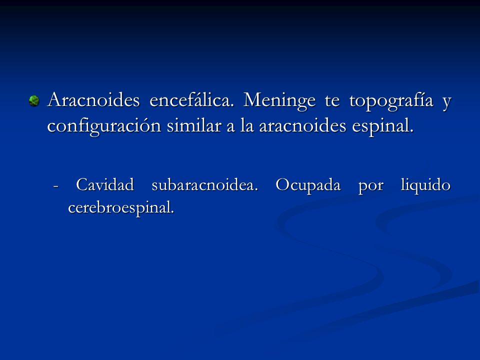 Aracnoides encefálica. Meninge te topografía y configuración similar a la aracnoides espinal. - Cavidad subaracnoidea. Ocupada por liquido cerebroespi