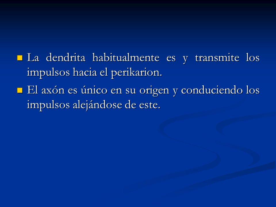 La dendrita habitualmente es y transmite los impulsos hacia el perikarion. La dendrita habitualmente es y transmite los impulsos hacia el perikarion.
