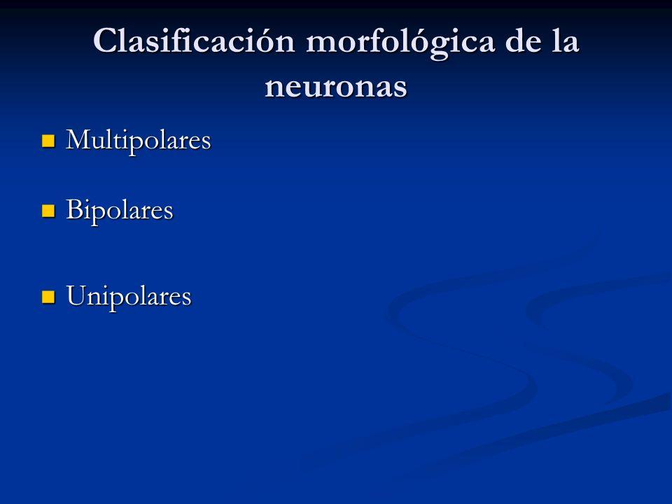 Clasificación morfológica de la neuronas Multipolares Multipolares Bipolares Bipolares Unipolares Unipolares