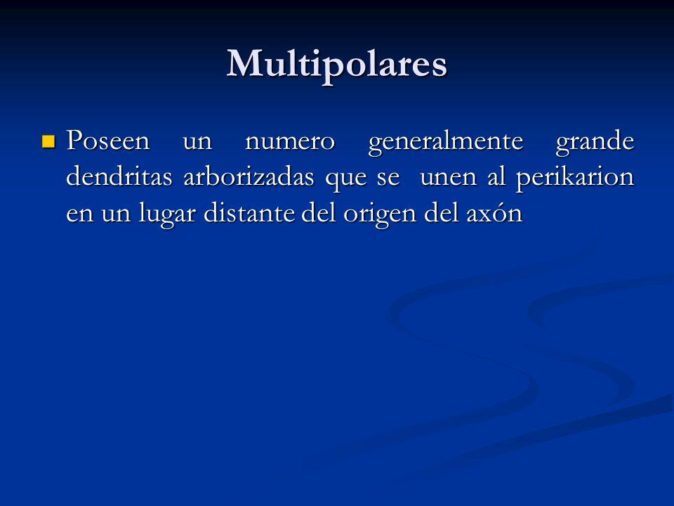 Multipolares Poseen un numero generalmente grande dendritas arborizadas que se unen al perikarion en un lugar distante del origen del axón Poseen un n