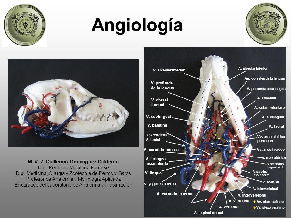 Angiología M. V. Z. Guillermo Domínguez Calderón Dipl. Perito en Medicina Forense Dipl. Medicina, Cirugía y Zootecnia de Perros y Gatos Profesor de An