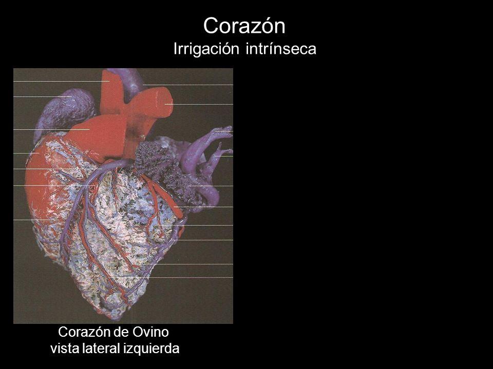 Corazón Irrigación intrínseca Corazón de Ovino vista lateral izquierda