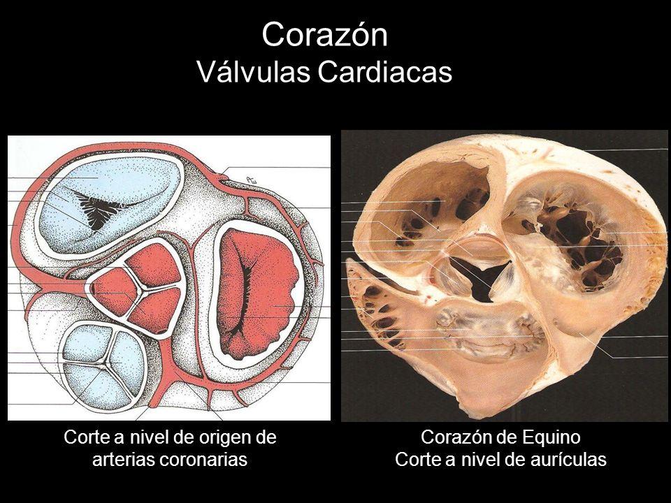Corazón Válvulas Cardiacas Corte a nivel de origen de arterias coronarias Corazón de Equino Corte a nivel de aurículas
