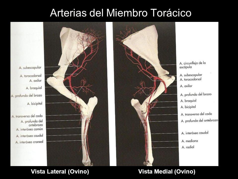 Arterias del Miembro Torácico Vista Lateral (Ovino)Vista Medial (Ovino)