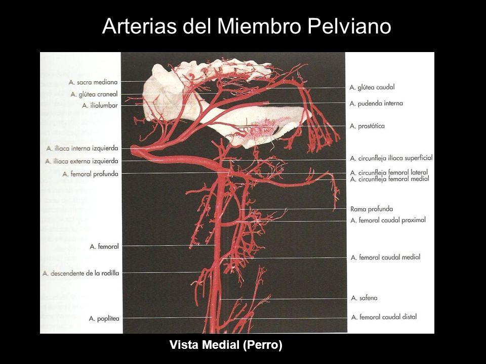 Arterias del Miembro Pelviano Vista Medial (Perro)