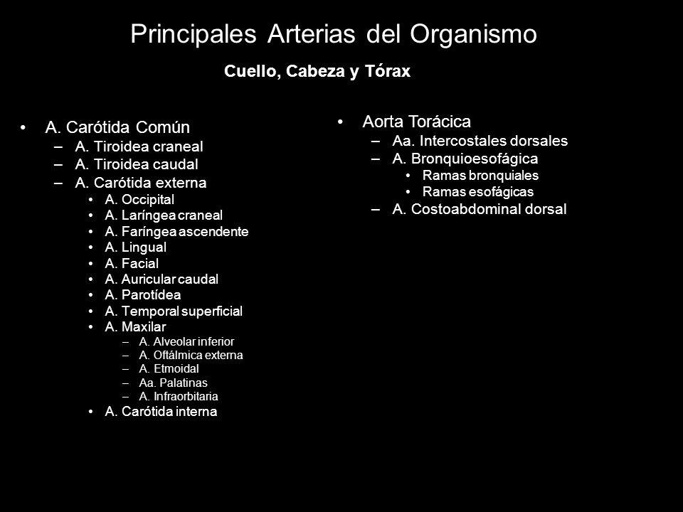 Principales Arterias del Organismo A. Carótida Común –A. Tiroidea craneal –A. Tiroidea caudal –A. Carótida externa A. Occipital A. Laríngea craneal A.
