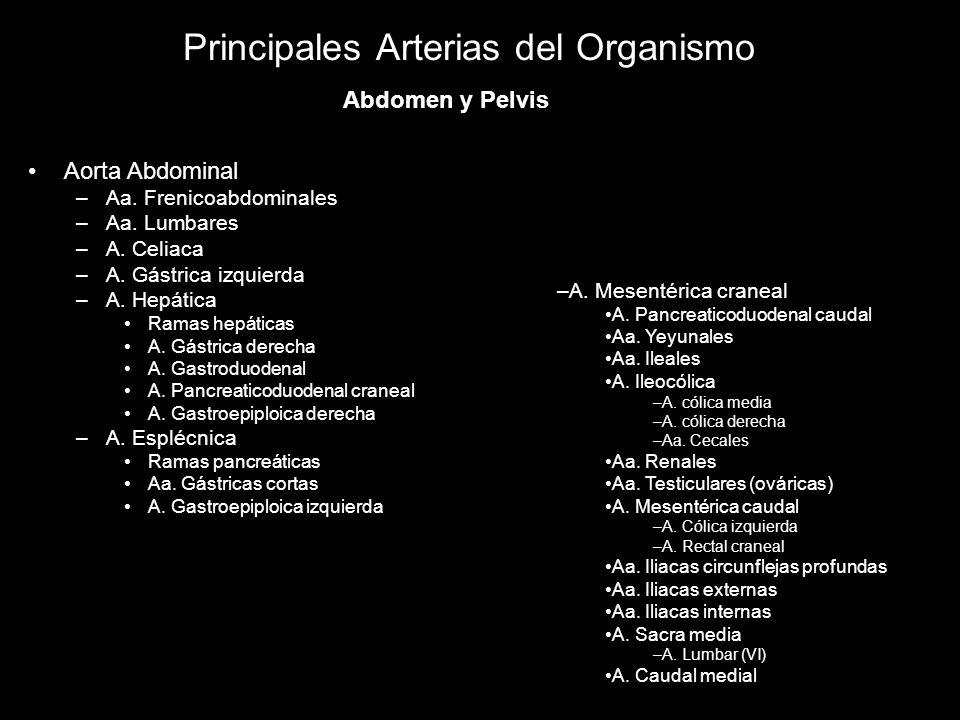 Principales Arterias del Organismo Aorta Abdominal –Aa. Frenicoabdominales –Aa. Lumbares –A. Celiaca –A. Gástrica izquierda –A. Hepática Ramas hepátic