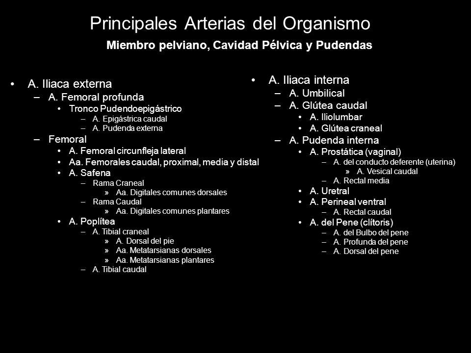 Principales Arterias del Organismo A. Iliaca externa –A. Femoral profunda Tronco Pudendoepigástrico –A. Epigástrica caudal –A. Pudenda externa –Femora