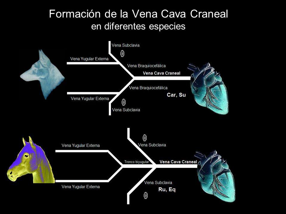 Formación de la Vena Cava Craneal en diferentes especies