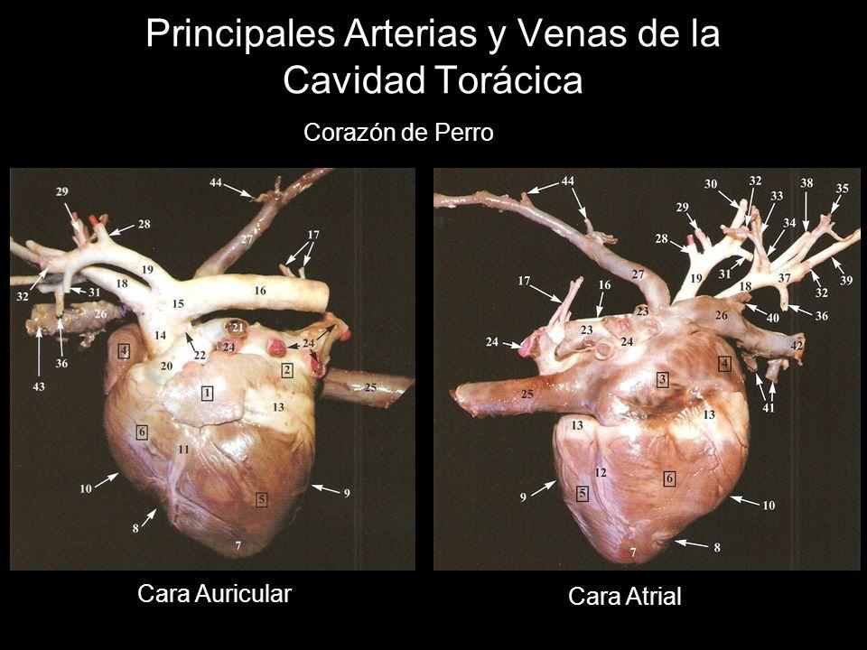 Principales Arterias y Venas de la Cavidad Torácica Corazón de Perro Cara Auricular Cara Atrial