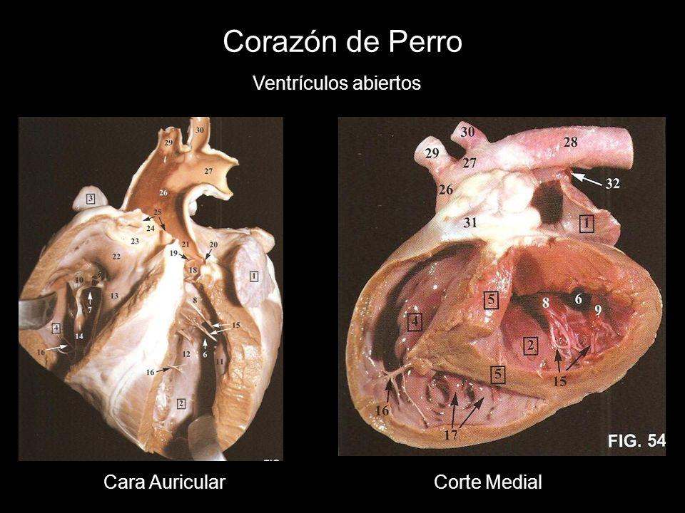 Corazón de Perro Ventrículos abiertos Cara AuricularCorte Medial