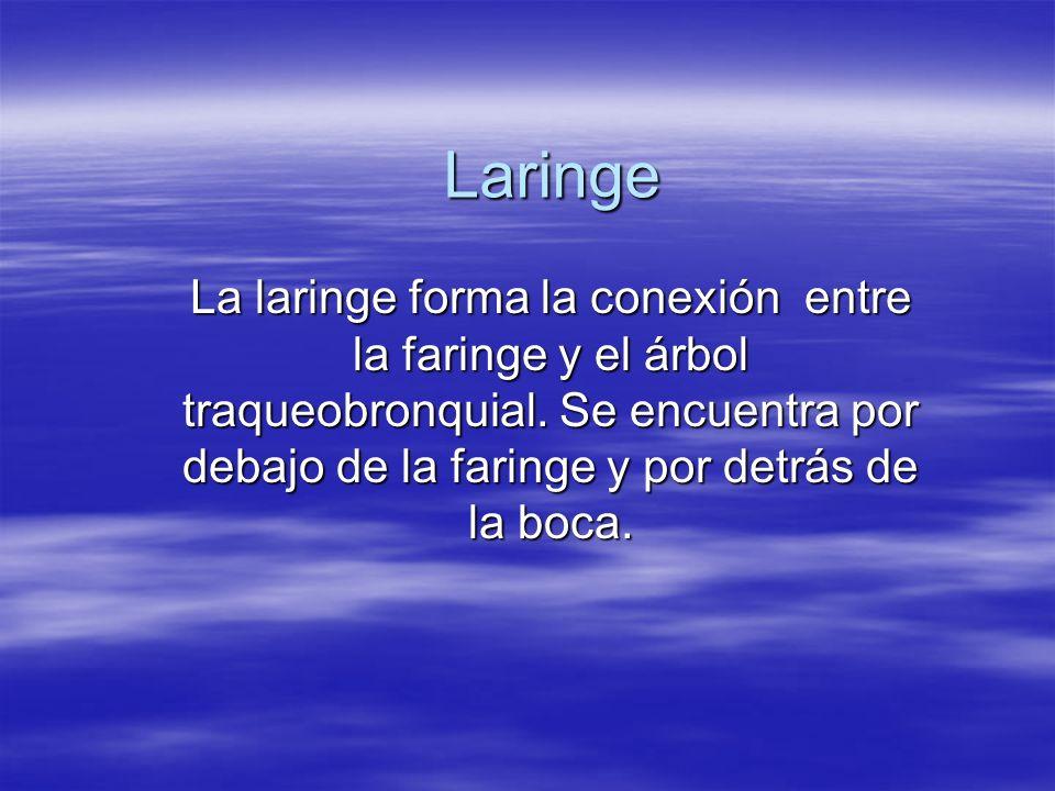 Laringe La laringe forma la conexión entre la faringe y el árbol traqueobronquial. Se encuentra por debajo de la faringe y por detrás de la boca.