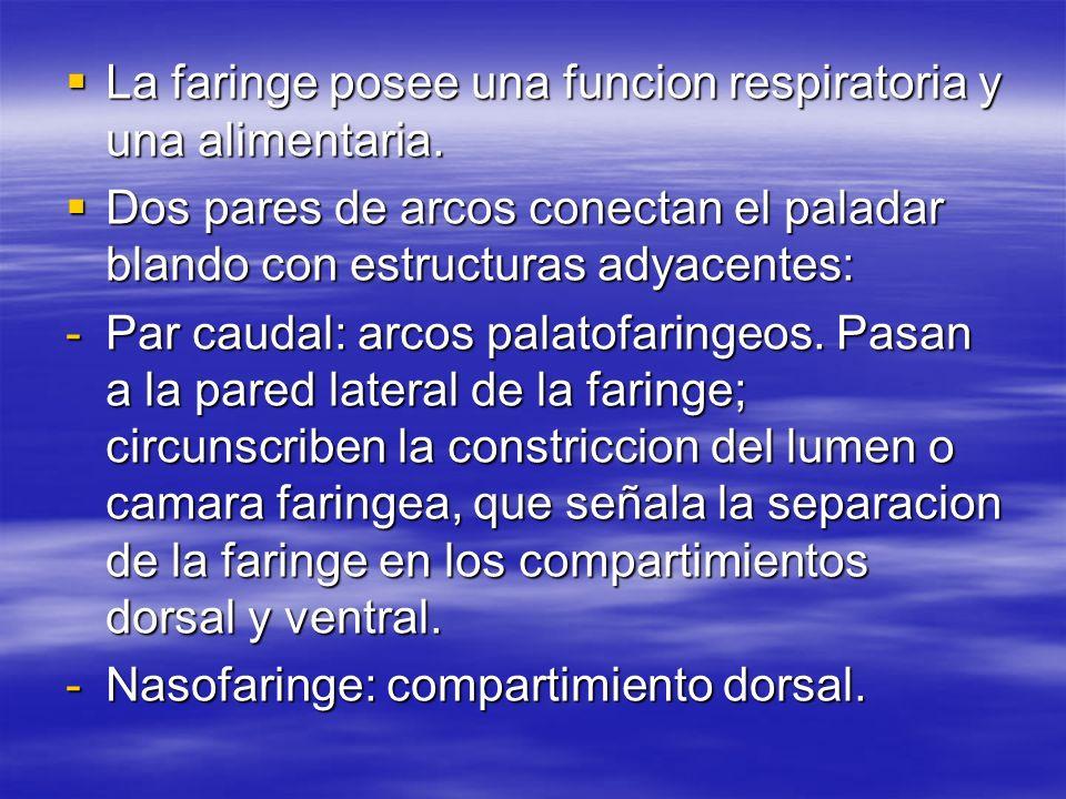 La faringe posee una funcion respiratoria y una alimentaria. La faringe posee una funcion respiratoria y una alimentaria. Dos pares de arcos conectan