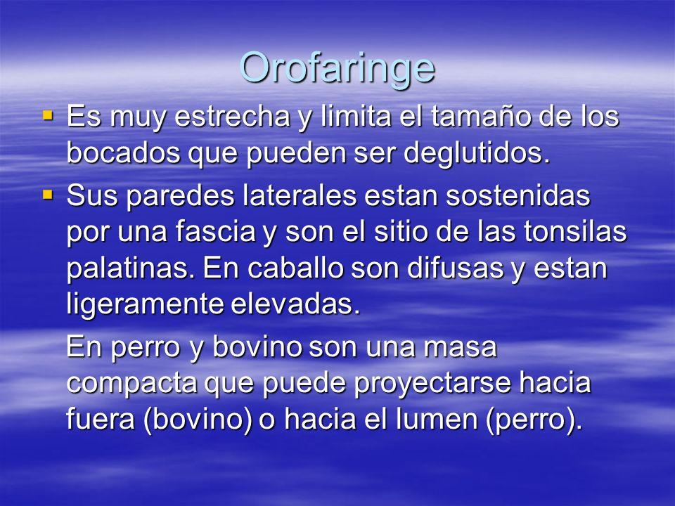 Orofaringe Es muy estrecha y limita el tamaño de los bocados que pueden ser deglutidos. Es muy estrecha y limita el tamaño de los bocados que pueden s