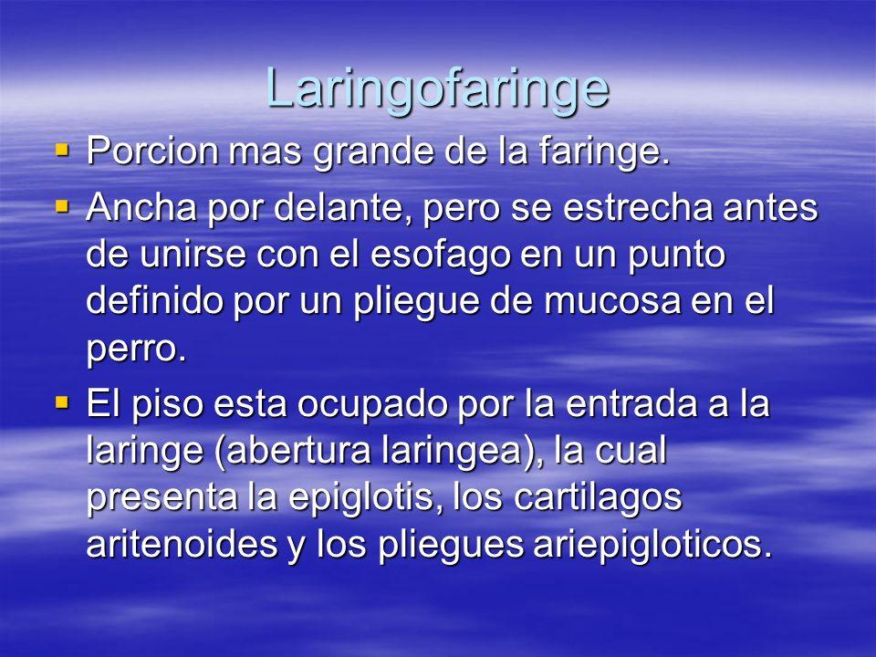 Laringofaringe Porcion mas grande de la faringe. Porcion mas grande de la faringe. Ancha por delante, pero se estrecha antes de unirse con el esofago