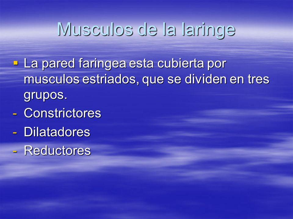 Musculos de la laringe La pared faringea esta cubierta por musculos estriados, que se dividen en tres grupos. La pared faringea esta cubierta por musc