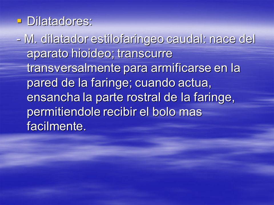 Dilatadores: Dilatadores: - M. dilatador estilofaringeo caudal: nace del aparato hioideo; transcurre transversalmente para armificarse en la pared de