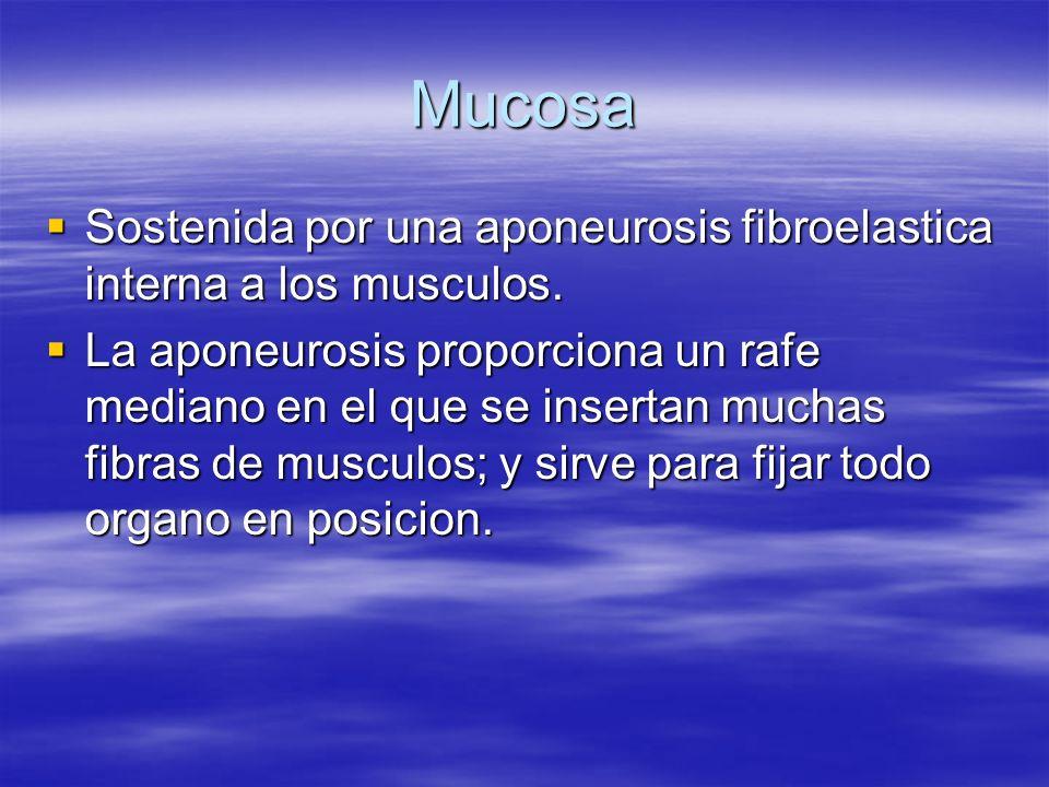 Mucosa Sostenida por una aponeurosis fibroelastica interna a los musculos. Sostenida por una aponeurosis fibroelastica interna a los musculos. La apon