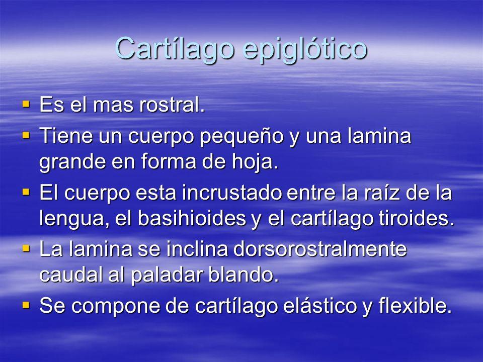 Cartílago epiglótico Es el mas rostral. Es el mas rostral. Tiene un cuerpo pequeño y una lamina grande en forma de hoja. Tiene un cuerpo pequeño y una