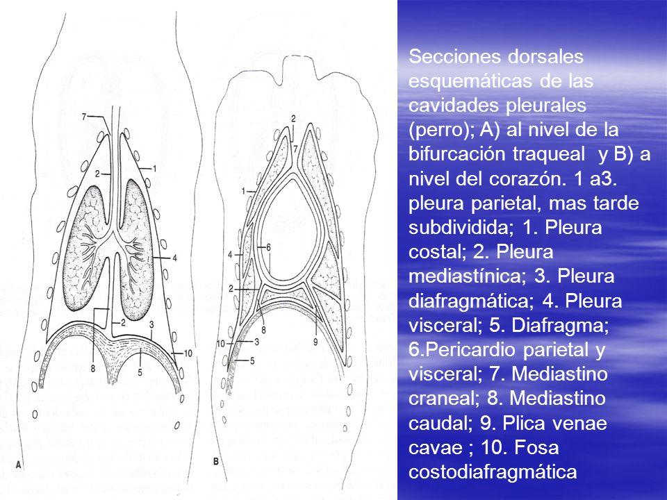 Secciones dorsales esquemáticas de las cavidades pleurales (perro); A) al nivel de la bifurcación traqueal y B) a nivel del corazón. 1 a3. pleura pari
