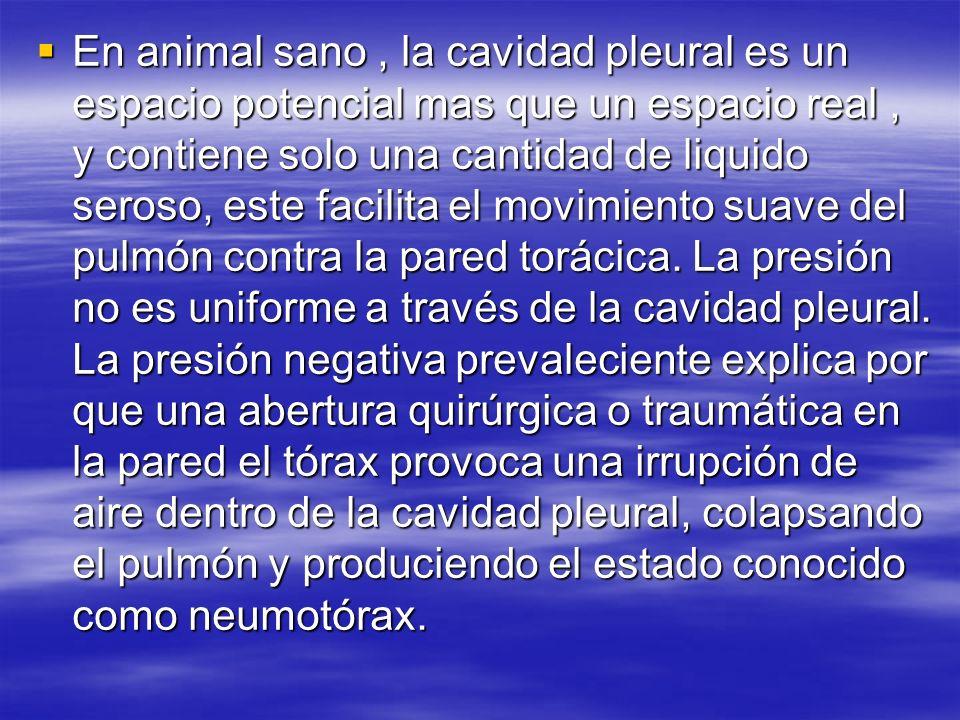 En animal sano, la cavidad pleural es un espacio potencial mas que un espacio real, y contiene solo una cantidad de liquido seroso, este facilita el m