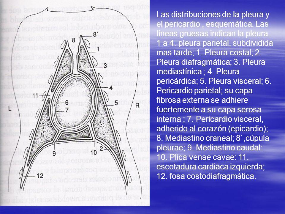 Las distribuciones de la pleura y el pericardio, esquemática. Las líneas gruesas indican la pleura. 1 a 4. pleura parietal, subdividida mas tarde; 1.