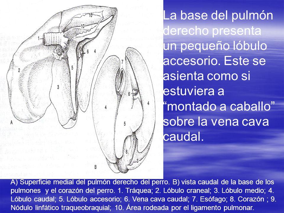 La base del pulmón derecho presenta un pequeño lóbulo accesorio. Este se asienta como si estuviera a montado a caballo sobre la vena cava caudal. A) S