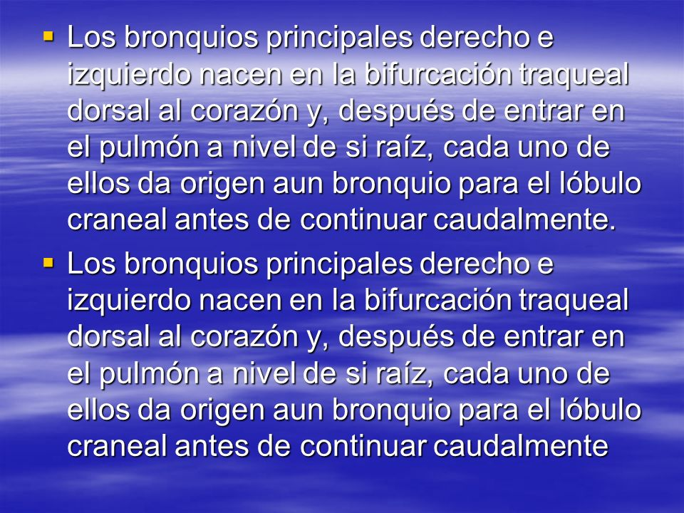 Los bronquios principales derecho e izquierdo nacen en la bifurcación traqueal dorsal al corazón y, después de entrar en el pulmón a nivel de si raíz,