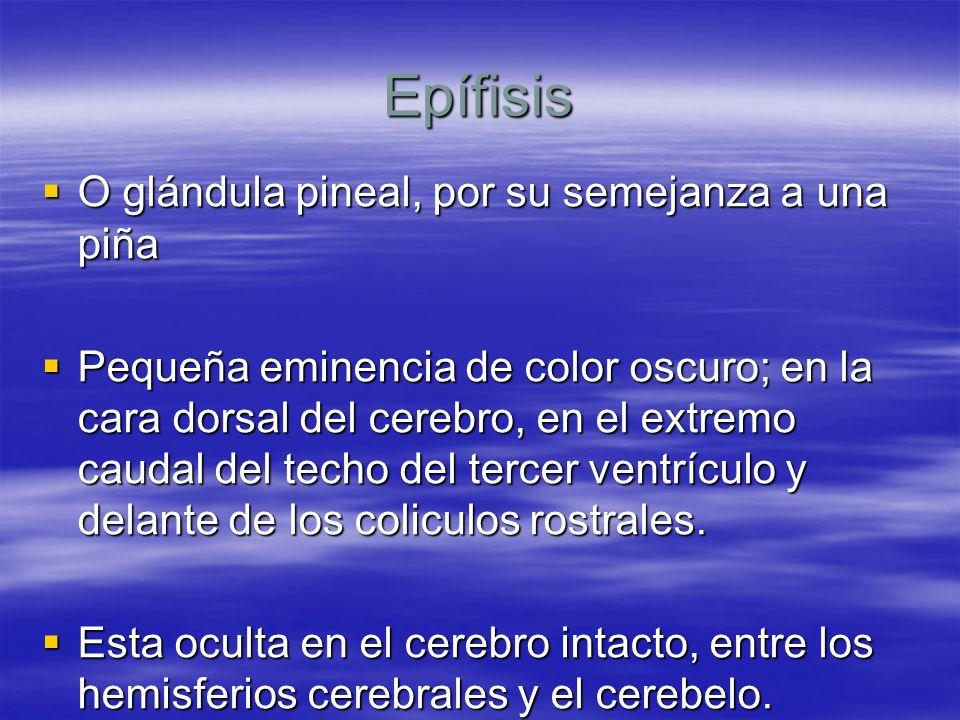 Epífisis O glándula pineal, por su semejanza a una piña O glándula pineal, por su semejanza a una piña Pequeña eminencia de color oscuro; en la cara d