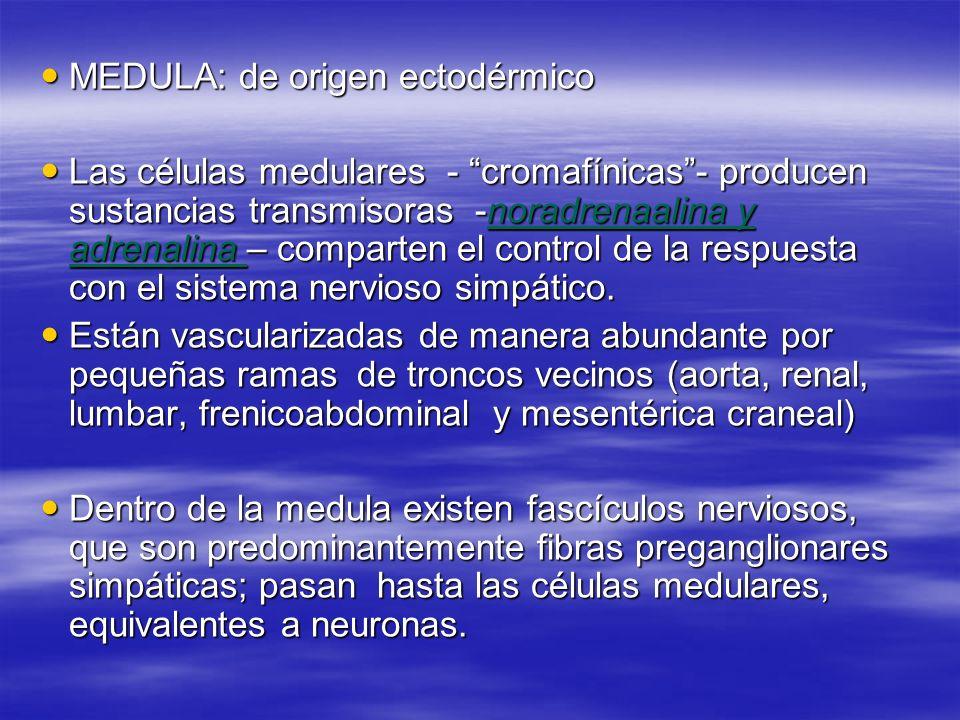 MEDULA: de origen ectodérmico MEDULA: de origen ectodérmico Las células medulares - cromafínicas- producen sustancias transmisoras -noradrenaalina y a