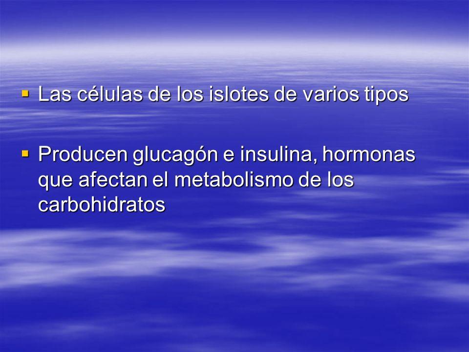 Las células de los islotes de varios tipos Las células de los islotes de varios tipos Producen glucagón e insulina, hormonas que afectan el metabolism
