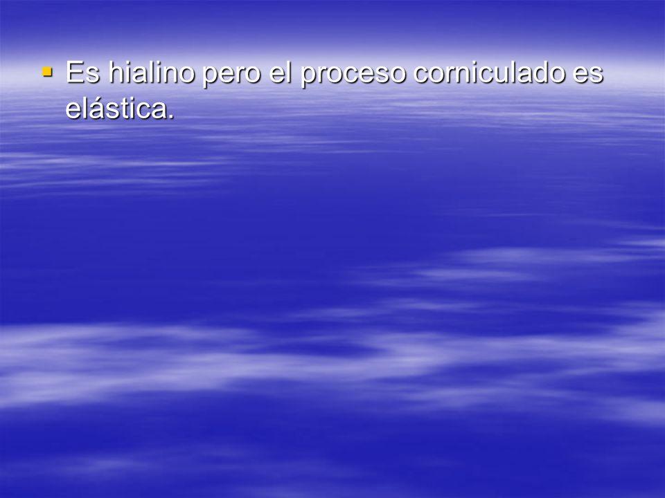 Es hialino pero el proceso corniculado es elástica. Es hialino pero el proceso corniculado es elástica.