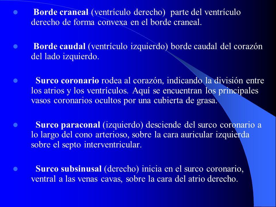 Borde craneal (ventrículo derecho) parte del ventrículo derecho de forma convexa en el borde craneal. Borde caudal (ventrículo izquierdo) borde caudal
