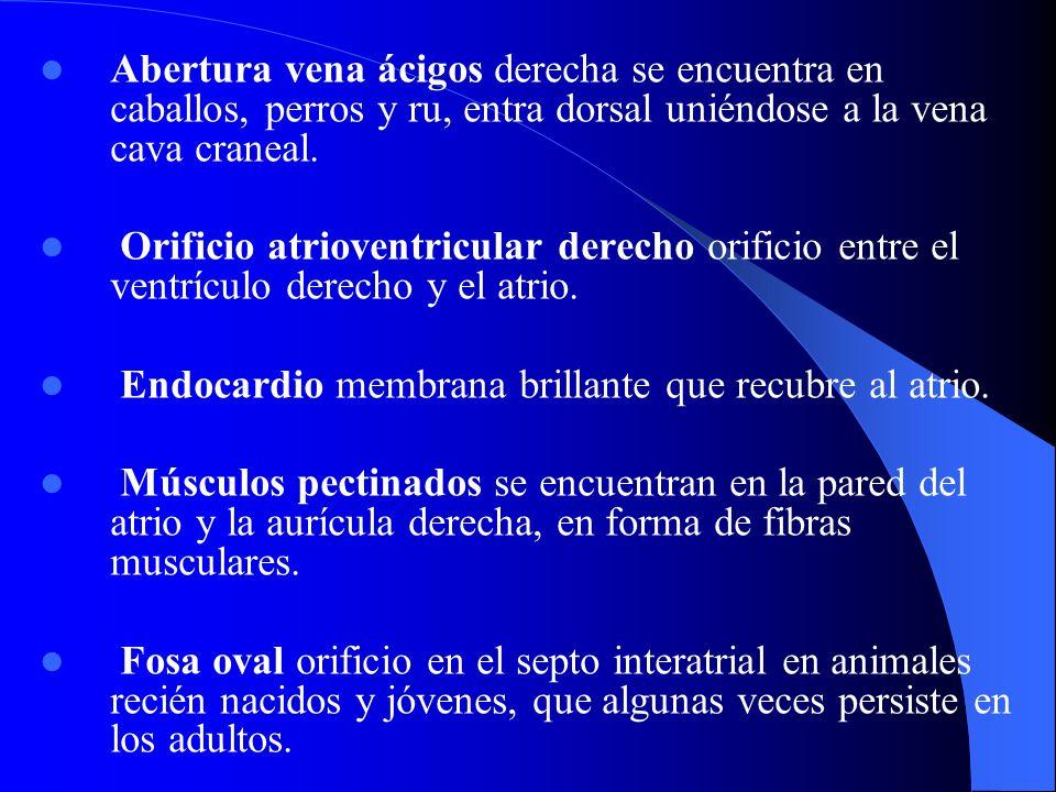 Abertura vena ácigos derecha se encuentra en caballos, perros y ru, entra dorsal uniéndose a la vena cava craneal. Orificio atrioventricular derecho o