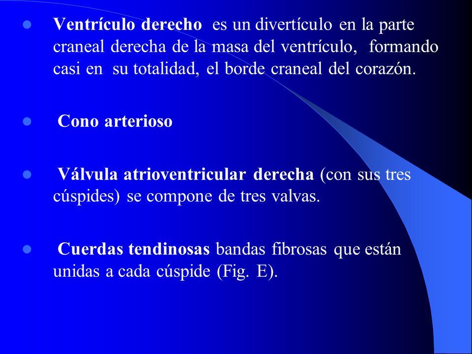 Ventrículo derecho es un divertículo en la parte craneal derecha de la masa del ventrículo, formando casi en su totalidad, el borde craneal del corazó