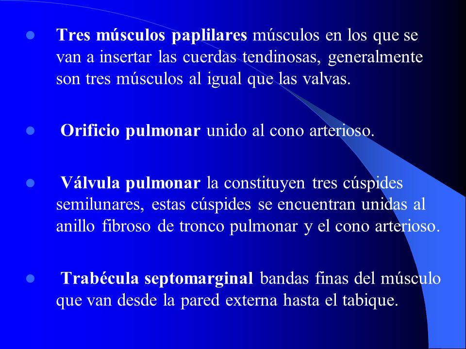 Tres músculos paplilares músculos en los que se van a insertar las cuerdas tendinosas, generalmente son tres músculos al igual que las valvas. Orifici