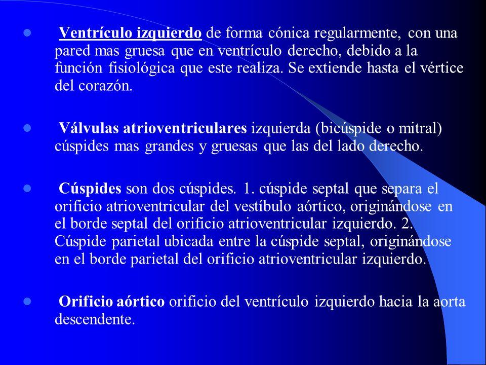 Ventrículo izquierdo de forma cónica regularmente, con una pared mas gruesa que en ventrículo derecho, debido a la función fisiológica que este realiz