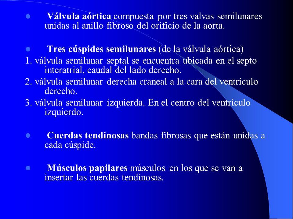 Válvula aórtica compuesta por tres valvas semilunares unidas al anillo fibroso del orificio de la aorta. Tres cúspides semilunares (de la válvula aórt