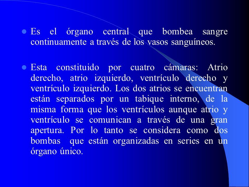VASOS SANGUINEOS Arterias: Compuesta por tres túnicas – Túnica interna: Endotelio de la capa interna, sostenida por tejido conectivo especializado, rodeada por una capa elástica fenestrada llamada: membrana elástica externa.