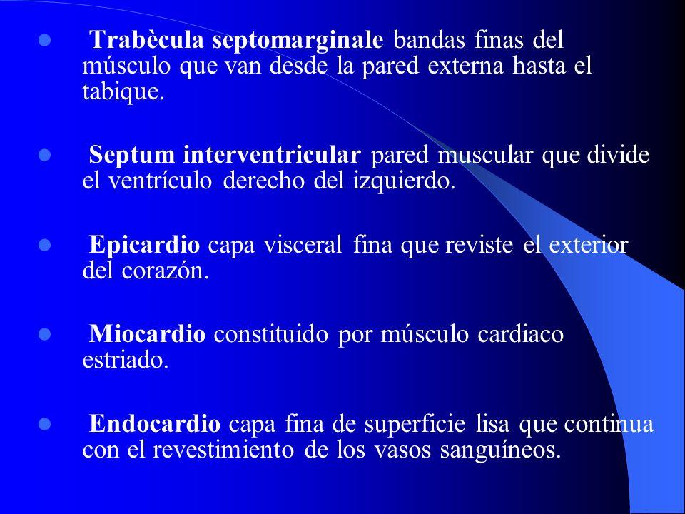 Trabècula septomarginale bandas finas del músculo que van desde la pared externa hasta el tabique. Septum interventricular pared muscular que divide e