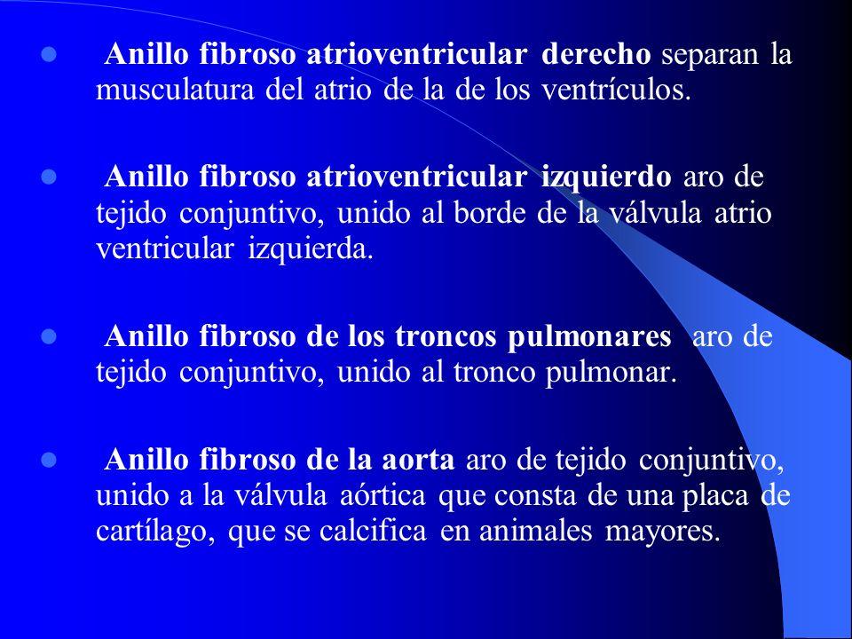 Anillo fibroso atrioventricular derecho separan la musculatura del atrio de la de los ventrículos. Anillo fibroso atrioventricular izquierdo aro de te