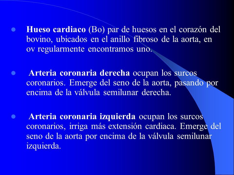 Hueso cardiaco (Bo) par de huesos en el corazón del bovino, ubicados en el anillo fibroso de la aorta, en ov regularmente encontramos uno. Arteria cor