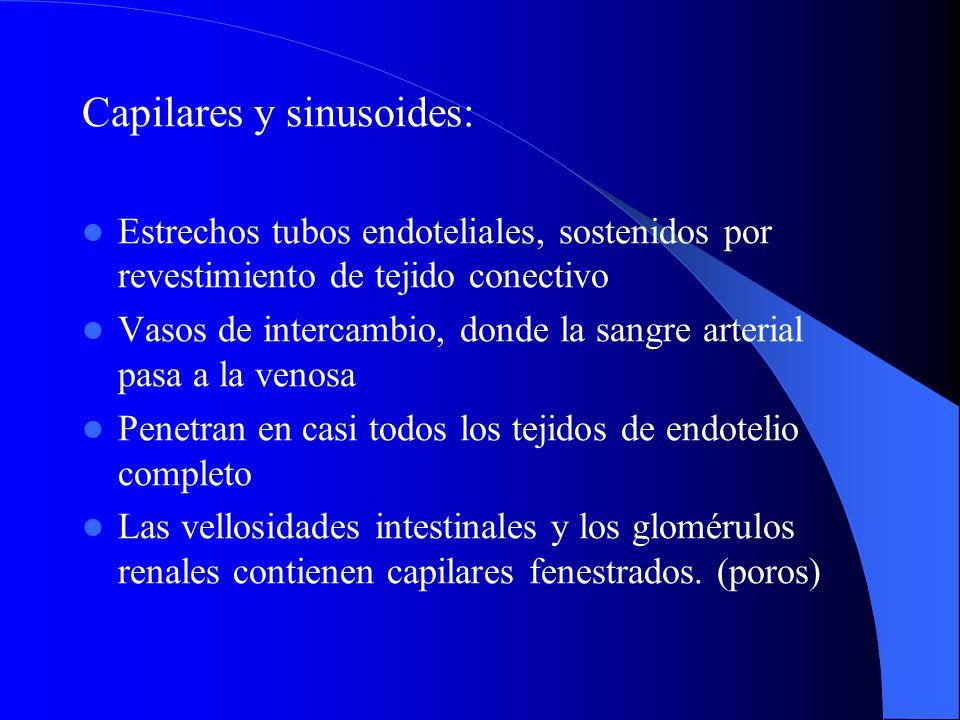 Capilares y sinusoides: Estrechos tubos endoteliales, sostenidos por revestimiento de tejido conectivo Vasos de intercambio, donde la sangre arterial
