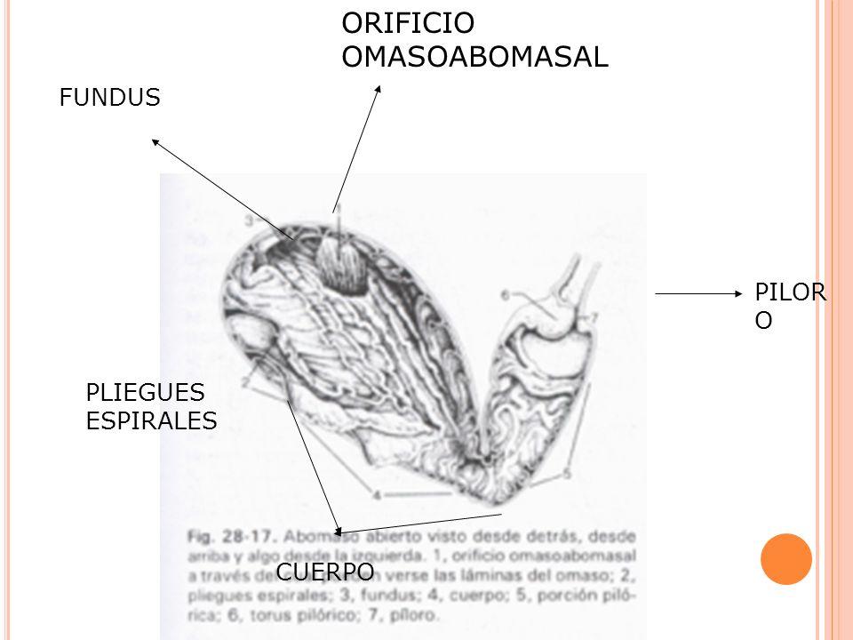 ORIFICIO OMASOABOMASAL CUERPO PLIEGUES ESPIRALES FUNDUS PILOR O