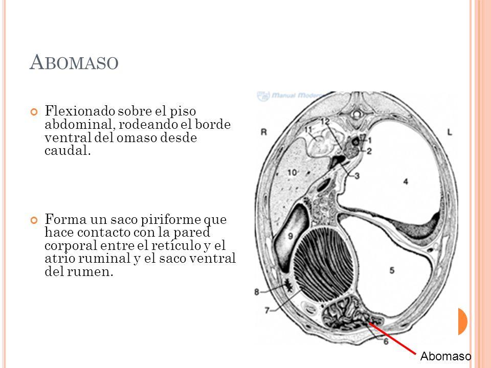 A BOMASO Flexionado sobre el piso abdominal, rodeando el borde ventral del omaso desde caudal. Forma un saco piriforme que hace contacto con la pared