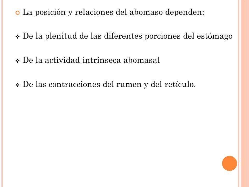 La posición y relaciones del abomaso dependen: De la plenitud de las diferentes porciones del estómago De la actividad intrínseca abomasal De las cont